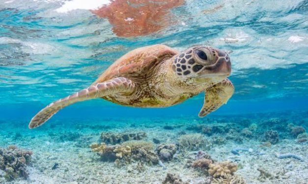ENDANGERED GREEN SEA TURTLE POPULATIONS ARE RECOVERING IN PACIFIC CORAL REEFS