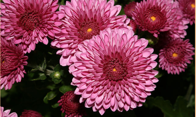 Chrysanthemum Flower Tea Lowers Blood Pressure, Treats Cataracts, Cleanses The Blood