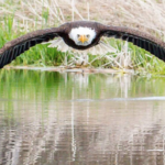 This Incredibly Rare Photo of a Bald Eagle And Its Reflection Is Stunning The World