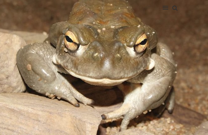 SMOKING PSYCHEDELIC TOAD MILK COULD ALLEVIATE DEPRESSION FOR UP TO 4 WEEKS