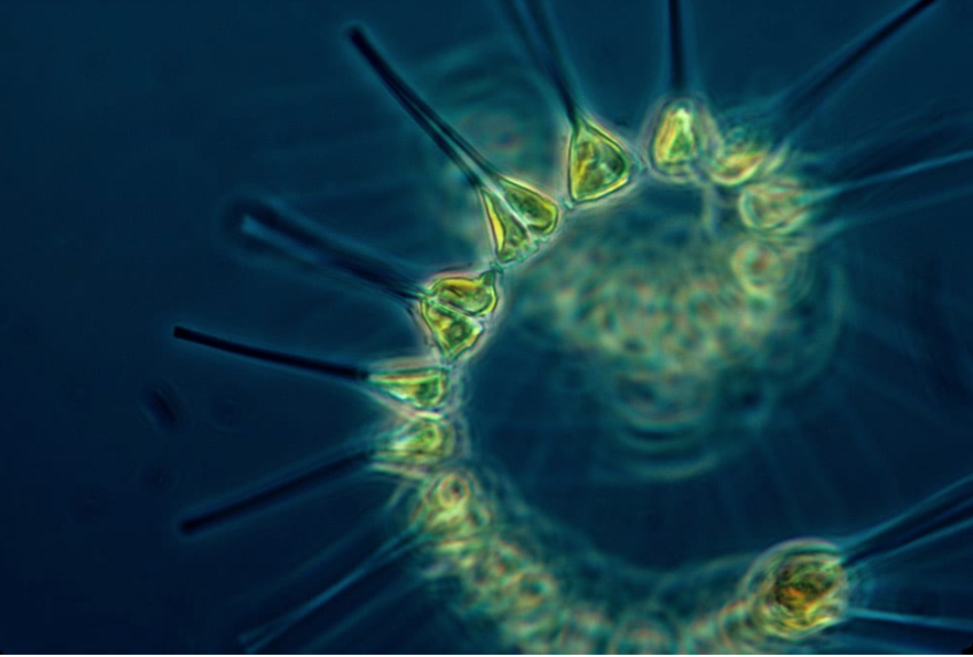 Marine Phytoplankton Benefits: The Ultimate Superfood and Ability To Raise Consciousness?