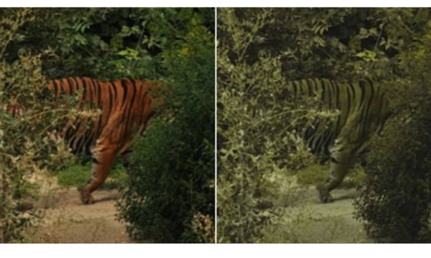 Tigers Are Orange Because They Prey on Animals Who See Them as Green, Study Shows