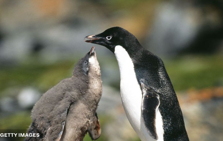 In a Colony of 40,000, Just Two Penguin Chicks Survived This Year