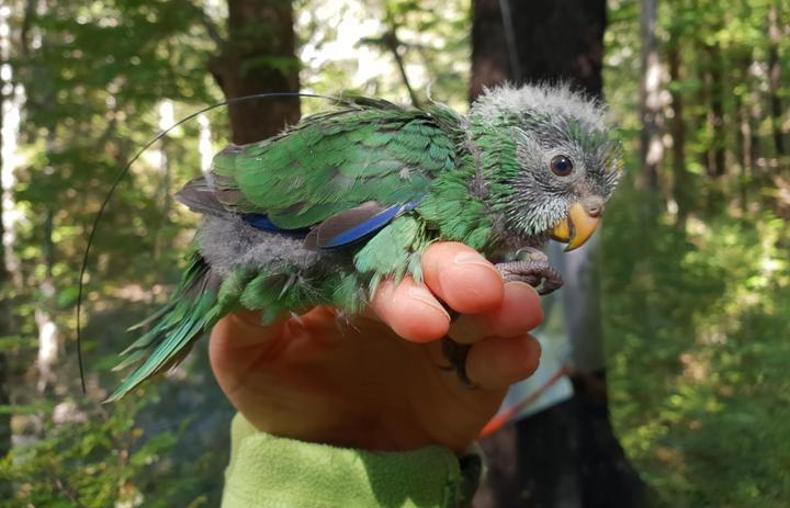 One of New Zealand's rarest birds is having its best breeding season in decades [VIDEO]