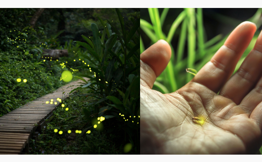 Scientists Warn That 2,000 Firefly Species Are Facing Extinction