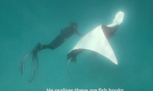 MANTA RAY SUCCESSFULLY ASKS FOR HELP…2 SHORT VIDEOS