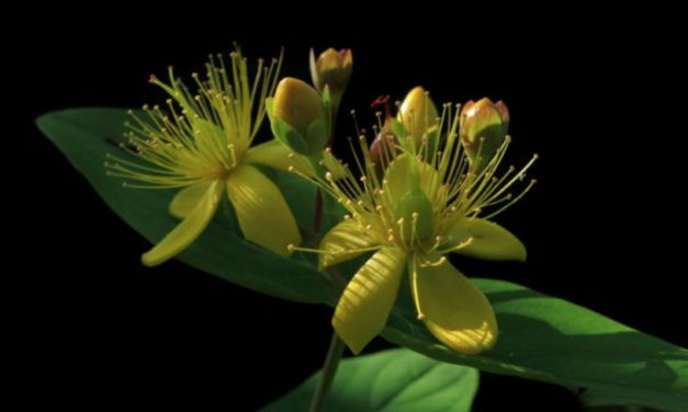 St. John's Wort Herbal Tincture: For Mood Balance And A More Positive Outlook