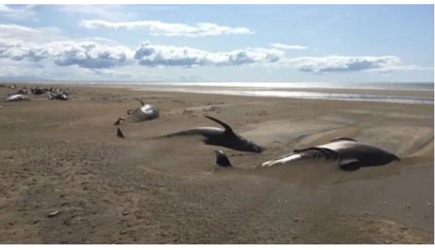 Dozens Of Pilot Whales Mysteriously Found Dead On Remote Beach In Iceland