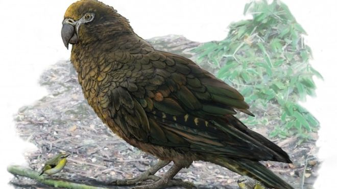 Ancient parrot in New Zealand was 1m tall, study says