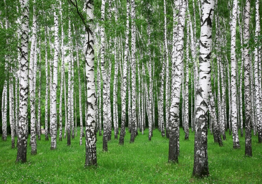 "Laser Scanner Suggest: ""Sleeping"" Birch Tree Rest Their Branches At Night"