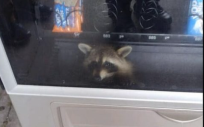 A raccoon was 'living his best life' in a school's snack machine. Then came the cops