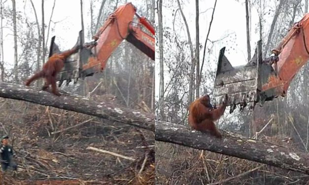 Sobering Footage Shows Orangutan Fighting Off Excavator To Protect His Home