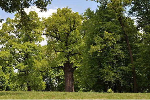 Hollow of 650-Year-Old Tree Used as a Hideout by Two Jewish Brothers During World War II