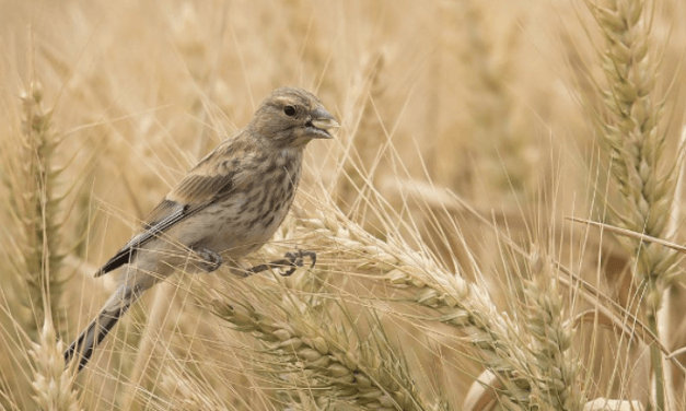 Study Identifies Connections Between Pesticides and Declining Farmland Bird Populations