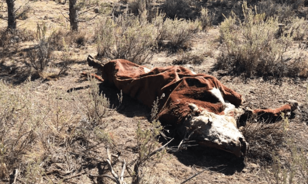 """Mainstream Media (NPR) Reports on Cattle Mutilations – """"Not One Drop Of Blood"""""""