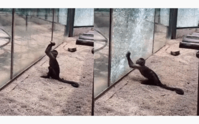 Monkey Sharpens Rock and Uses It To Smash Through Glass Enclosure At Zoo